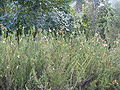 Erica glandulosa bush.JPG