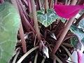Ericales - Cyclamen persicum cultivars - 9.jpg