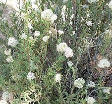 Eriogonum fasciculatum form.jpg