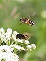 Eristalis hover flies in flight (7614249910).jpg