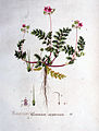 Erodium cicutarium — Flora Batava — Volume v1.jpg