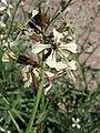Eruca vesicaria. Big Bend National Park, Hwy 1776. March 2004 (B1424CBA182644C98A02975FB29D3214).JPG