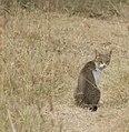 Ethiopian Cat (5065230647).jpg