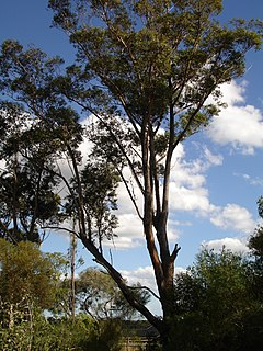 <i>Eucalyptus botryoides</i> species of plant