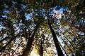 Eucalyptus coccifera Silhouettes 1.jpg