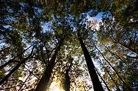Eucalyptus coccifera Silhouettes 1