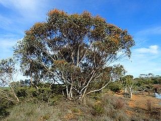 <i>Eucalyptus cooperiana</i> Species of eucalyptus