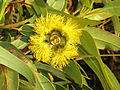 Eucalyptus erythrocorys at port denison.jpg