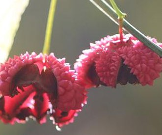 Euonymus americanus - Image: Euonymusthumb