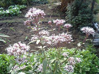 <i>Eupatorium japonicum</i>