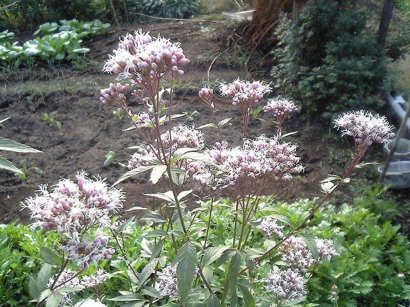 https://upload.wikimedia.org/wikipedia/commons/thumb/8/83/Eupatorium_japonicum_flower_leaf.jpg/800px-Eupatorium_japonicum_flower_leaf.jpg