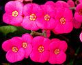Euphorbia Flower show 14.jpg