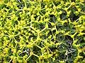 Euphorbia acanthothamnos (flowers).jpg