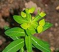 Euphorbia dulcis in Aveyron (4).jpg