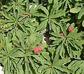 Euphorbia milii var splendens1 ies.jpg