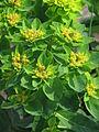 Euphorbia polychroma 01.JPG