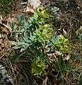 Euphorbia rigida 5.jpg