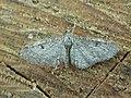 Eupithecia sp. (2939541174).jpg
