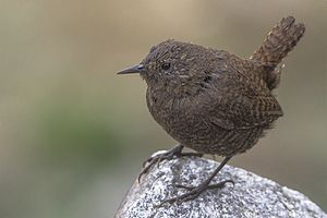 Eurasian wren - From high Himalayas in Sikkim, India.