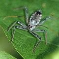 Eyes of a wheel bug (9725873041).jpg