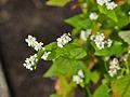 Fagopyrum esculentum-IMG 9267.jpg