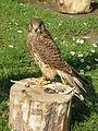 Falco tinnunculus (public domain).JPG