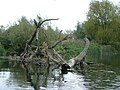 Fallen trees in the River Derwent - geograph.org.uk - 584516.jpg