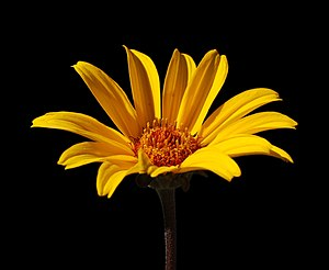 False Sunflower Heliopsis helianthoides 'Summe...