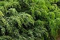 Falso laurel (Ficus benjamina) (14441583710).jpg