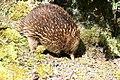 Fauna de Tasmania18.JPG