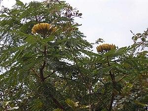 Dimorphandra mollis - Dimorphandra mollis