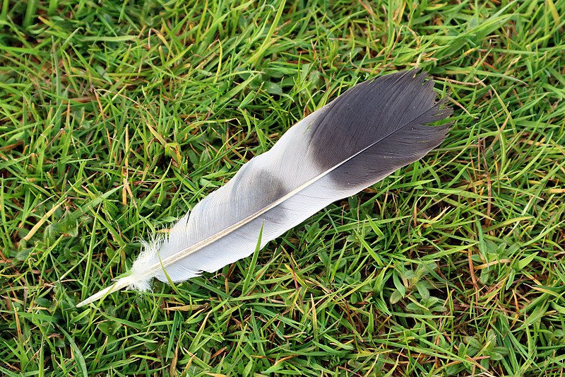 File:Feather on Grass.jpg