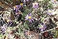 Felicia brevifolia Warren 4.jpg