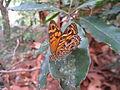 Female Ringed Xenica (5389838386).jpg