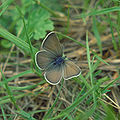 Fenders blue butterfly Oregon.jpg