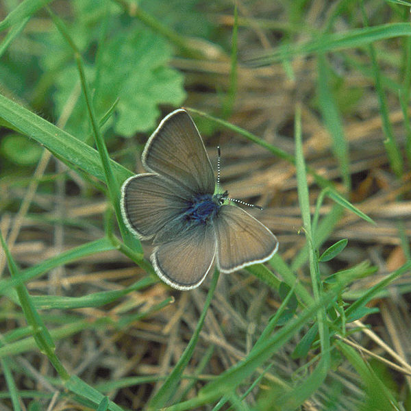 File:Fenders blue butterfly Oregon.jpg