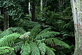 Ferns near cann river.jpg