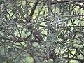 Ficedula hypoleuca, Srbija (71).jpg