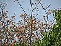 Ficus drupacea var pubscens-1.JPG