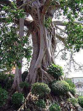 fíkovník Ficus sp.