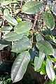 Ficus superba var. henneana leaves.jpg