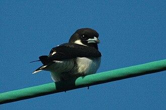 Woodswallow - Image: Fijiwoodswallow