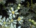 Filipendula vulgaris 2016-05-31 1920.jpg