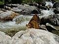 Fish Creek Falls Butterfly No. 1 (8691099721).jpg