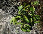 Five-leaved ivy on granite.jpg