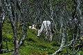 Fjällko i fjällbjörkskog.jpg
