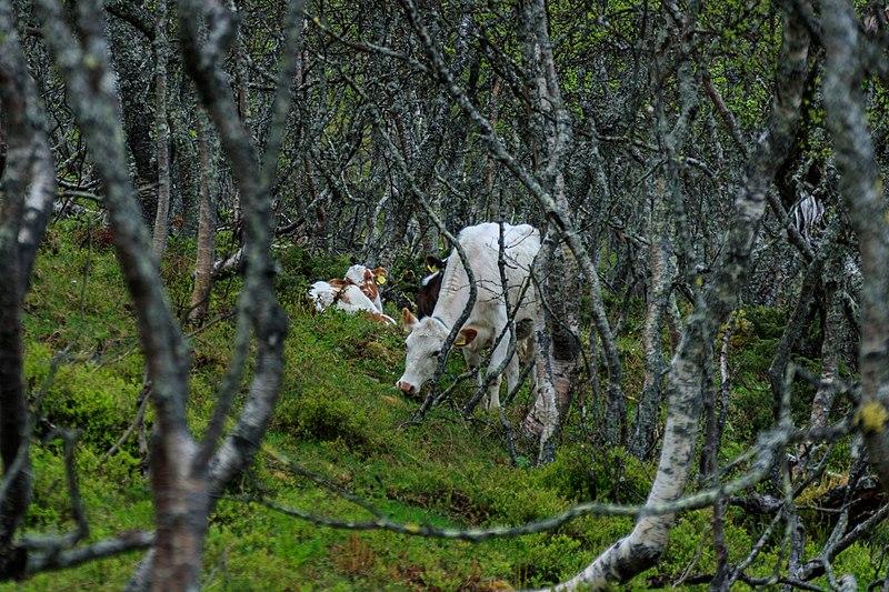 File:Fjällko i fjällbjörkskog.jpg