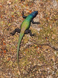 Common flat lizard Species of lizard