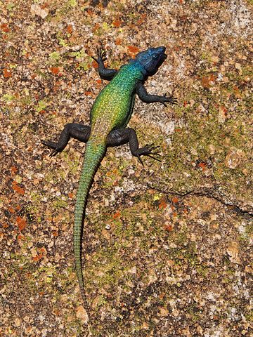 Common Flat Rock Lizard