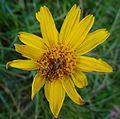 Fleur en Vanoise (11).JPG